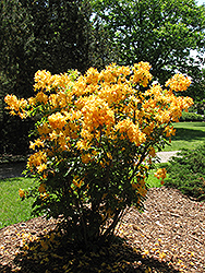 Golden Lights Azalea (Rhododendron 'Golden Lights') at Homestead Gardens