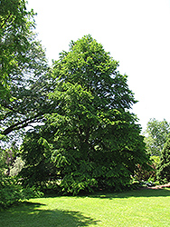 Katsura Tree (Cercidiphyllum japonicum) at Homestead Gardens