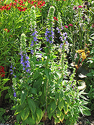 Blue Cardinal Flower (Lobelia siphilitica) at Homestead Gardens