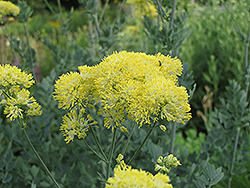Yellow Meadow Rue (Thalictrum flavum 'Glaucum') at Homestead Gardens