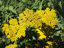 Coronation Gold Yarrow (Achillea 'Coronation Gold') at Homestead Gardens