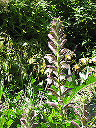 Bear's Breeches (Acanthus spinosus) at Homestead Gardens