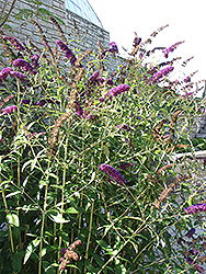 Black Knight Butterfly Bush (Buddleia davidii 'Black Knight') at Homestead Gardens