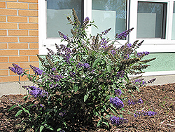 Nanho Blue Butterfly Bush (Buddleia davidii 'Nanho Blue') at Homestead Gardens