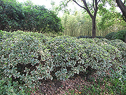 Silver King Euonymus (Euonymus japonicus 'Silver King') at Homestead Gardens