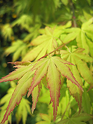 Orange Dream Japanese Maple (Acer palmatum 'Orange Dream') at Homestead Gardens