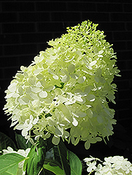 Limelight Hydrangea (Hydrangea paniculata 'Limelight') at Homestead Gardens