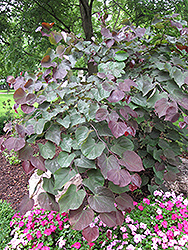 Forest Pansy Redbud (Cercis canadensis 'Forest Pansy') at Homestead Gardens