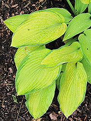 Inniswood Hosta (Hosta 'Inniswood') at Homestead Gardens