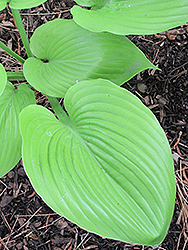 Sum and Substance Hosta (Hosta 'Sum and Substance') at Homestead Gardens