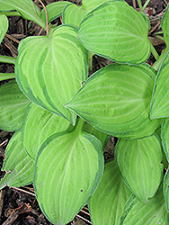 Emerald Tiara Hosta (Hosta 'Emerald Tiara') at Homestead Gardens