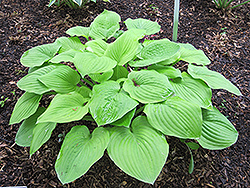 August Moon Hosta (Hosta 'August Moon') at Homestead Gardens