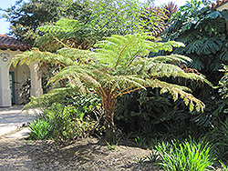 Australian Tree Fern (Cyathea cooperi) at Homestead Gardens