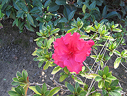Bloom-A-Thon® Red Azalea (Rhododendron 'RLH1-1P2') at Homestead Gardens