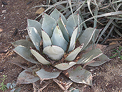 Parry's Agave (Agave parryi var. parryi) at Homestead Gardens