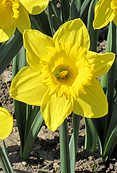 King Alfred Daffodil (Narcissus 'King Alfred') at Homestead Gardens