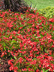 Dragon Wing Red Begonia (Begonia 'Dragon Wing Red') at Homestead Gardens