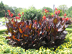 Red King Humbert Canna (Canna 'Red King Humbert') at Homestead Gardens