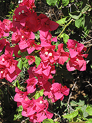 Barbara Karst Bougainvillea (Bougainvillea 'Barbara Karst') at Homestead Gardens