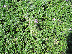 Elfin Creeping Thyme (Thymus praecox 'Elfin') at Homestead Gardens