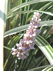 Silver Dragon Lily Turf (Liriope spicata 'Silver Dragon') at Homestead Gardens