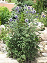 Veitch's Blue Globe Thistle (Echinops ritro 'Veitch's Blue') at Homestead Gardens