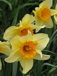 Fortune Daffodil (Narcissus 'Fortune') at Homestead Gardens
