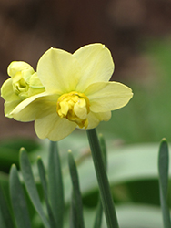 Yellow Cheerfulness Daffodil (Narcissus x poetaz 'Yellow Cheerfulness') at Homestead Gardens