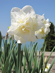 White Lion Daffodil (Narcissus 'White Lion') at Homestead Gardens