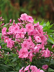 Shortwood Garden Phlox (Phlox paniculata 'Shortwood') at Homestead Gardens