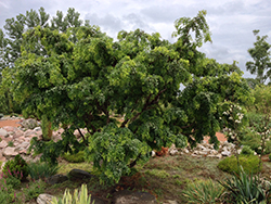 Twisted Baby® Black Locust (Robinia pseudoacacia 'Lace Lady') at Homestead Gardens