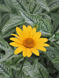 Loraine Sunshine False Sunflower (Heliopsis helianthoides 'Loraine Sunshine') at Homestead Gardens