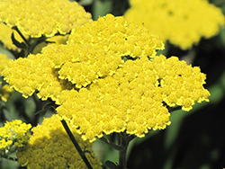 Moonshine Yarrow (Achillea 'Moonshine') at Homestead Gardens