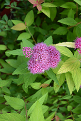 Double Play® Candy Corn® Spirea (Spiraea japonica 'NCSX1') at Homestead Gardens