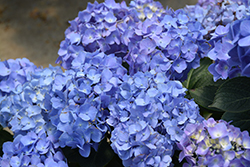 Let's Dance® Blue Jangles® Hydrangea (Hydrangea macrophylla 'SMHMTAU') at Homestead Gardens
