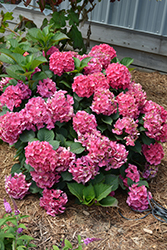Cityline® Paris Hydrangea (Hydrangea macrophylla 'Paris Rapa') at Homestead Gardens