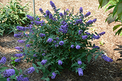 Lo And Behold® Blue Chip Dwarf Butterfly Bush (Buddleia 'Lo And Behold Blue Chip') at Homestead Gardens