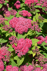 Double Play® Red Spirea (Spiraea japonica 'SMNSJMFR') at Homestead Gardens