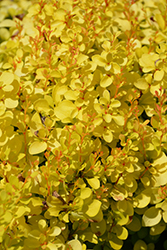 Sunjoy® Mini Saffron Japanese Barberry (Berberis thunbergii 'Kasia') at Homestead Gardens