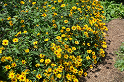 Summer Nights False Sunflower (Heliopsis helianthoides 'Summer Nights') at Homestead Gardens