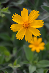 Sunshine Superman Tickseed (Coreopsis pubescens 'Sunshine Superman') at Homestead Gardens