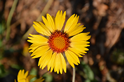 Amber Wheels Blanket Flower (Gaillardia x grandiflora 'Amber Wheels') at Homestead Gardens