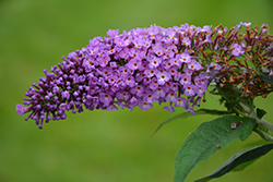 Pugster® Periwinkle Butterfly Bush (Buddleia 'SMNBDO') at Homestead Gardens