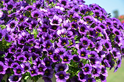 Superbells® Grape Punch Calibrachoa (Calibrachoa 'Superbells Grape Punch') at Homestead Gardens