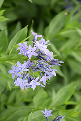 Blue Ice Star Flower (Amsonia tabernaemontana 'Blue Ice') at Homestead Gardens