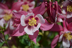 Origami Rose And White Columbine (Aquilegia 'Origami Rose And White') at Homestead Gardens