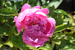 Dr. Alexander Fleming Peony (Paeonia 'Dr. Alexander Fleming') at Homestead Gardens