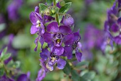 Angelface® Blue Angelonia (Angelonia angustifolia 'Angelface Blue') at Homestead Gardens