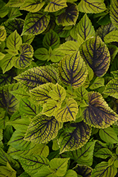 Gays Delight Coleus (Solenostemon scutellarioides 'Gays Delight') at Homestead Gardens