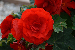 Nonstop® Deep Red Begonia (Begonia 'Nonstop Deep Red') at Homestead Gardens